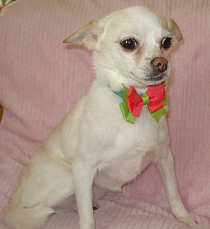 Chihuahua Mix Dog for adoption in Charlotte, North Carolina - Heidi