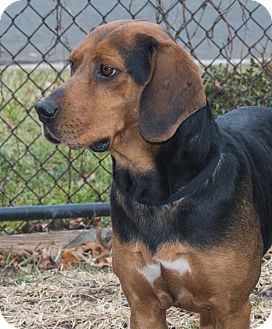 Beagle/Hound (Unknown Type) Mix Dog for adoption in Elmwood Park, New Jersey - Gatsby