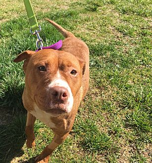 Pit Bull Terrier Dog for adoption in Hazard, Kentucky - Gloria-prison trained