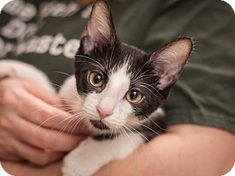 Domestic Shorthair Kitten for adoption in Dallas, Texas - Sam