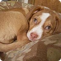 Adopt A Pet :: Bruce - Seattle, WA