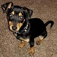 Adopt A Pet :: Trooper - North Richland Hills, TX