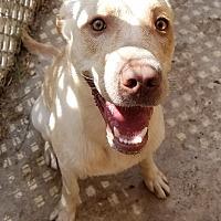 Adopt A Pet :: Link - San Antonio, TX