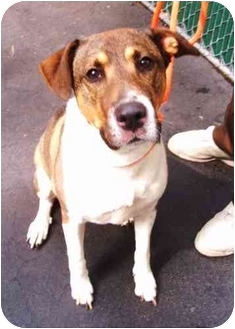 Beagle/German Shepherd Dog Mix Dog for adoption in New York, New York - SUZANNA