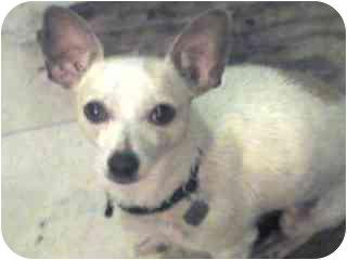 Chihuahua Mix Dog for adoption in San Diego, California - Lulu