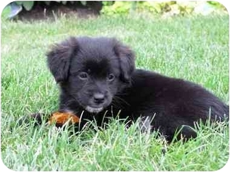 Spaniel (Unknown Type)/Flat-Coated Retriever Mix Puppy for adoption in Naperville, Illinois - Marley-ADOPTED
