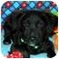 Photo 1 - Pomeranian/Dachshund Mix Puppy for adoption in Broomfield, Colorado - Tramp