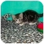 Photo 2 - Domestic Shorthair Kitten for adoption in Secaucus, New Jersey - Tigress