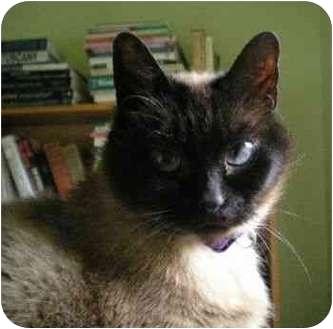 Siamese Cat for adoption in Portland, Oregon - Samantha