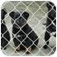 Photo 3 - Belgian Shepherd/Labrador Retriever Mix Puppy for adoption in Ripley, Tennessee - Pocket Pups *FREE* (150-7)