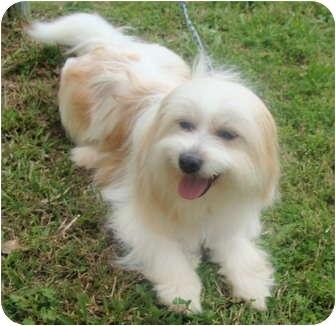 Havanese/Tibetan Terrier Mix Dog for adoption in Fairmount, Georgia - Fonzi