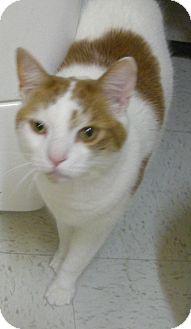 Domestic Shorthair Cat for adoption in Virginia Beach, Virginia - Colby Jack