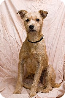 Terrier (Unknown Type, Medium) Mix Dog for adoption in Anna, Illinois - ORRY