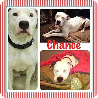 American Bulldog Mix Dog for adoption in Laingsburg, Michigan - Chance