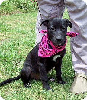 Labrador Retriever Mix Puppy for adoption in Bedminster, New Jersey - AZLIN/Special Summer Pricing