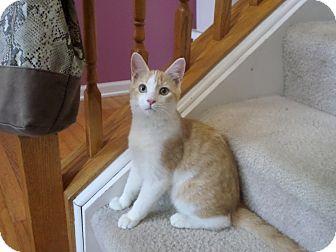 Domestic Shorthair Kitten for adoption in Naperville, Illinois - Buddy - $50.00