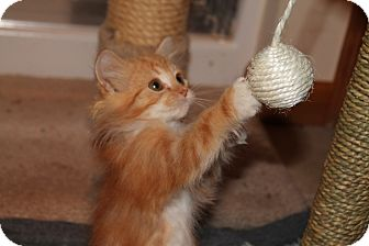 Norwegian Forest Cat Kitten for adoption in Naperville, Illinois - Holly