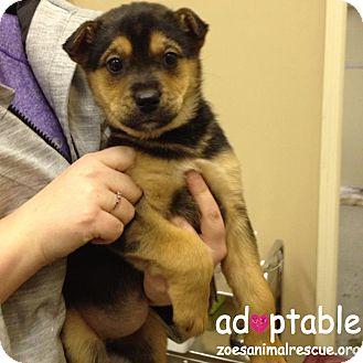 Shepherd (Unknown Type)/Terrier (Unknown Type, Medium) Mix Puppy for adoption in Edmonton, Alberta - Bonnie