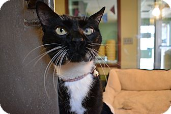 Domestic Shorthair Cat for adoption in Bay Shore, New York - Janell