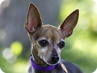 Chihuahua Mix Dog for adoption in Ile-Perrot, Quebec - Nita