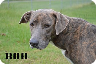 Labrador Retriever Mix Dog for adoption in Texarkana, Arkansas - Boo