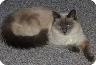 Siamese Cat for adoption in North Highlands, California - MsSammie