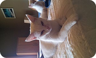 Domestic Shorthair Cat for adoption in Nashville, Tennessee - Cleo