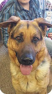 German Shepherd Dog/Golden Retriever Mix Dog for adoption in Ogden, Utah - Roscoe