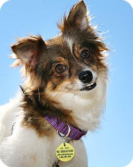 Papillon Mix Dog for adoption in Bellingham, Washington - Tessa