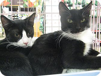Domestic Shorthair Cat for adoption in New york, New York - Ringo and George