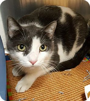 Domestic Shorthair Cat for adoption in Ardsley, New York - Max