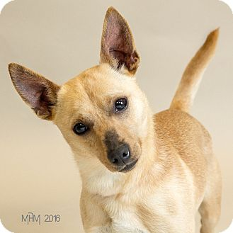 Chihuahua Mix Dog for adoption in Naperville, Illinois - Willy