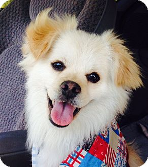 Pomeranian/Papillon Mix Dog for adoption in Van Nuys, California - *URGENT* Gigi