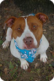 American Bulldog/Boxer Mix Dog for adoption in Bishopville, South Carolina - Jade