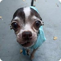 Adopt A Pet :: Itzi Bitzi - AUSTIN, TX