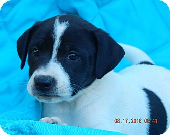 Border Collie/Shepherd (Unknown Type) Mix Puppy for adoption in West Sand Lake, New York - Karma (7 lb) Video!