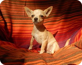 Chihuahua Mix Puppy for adoption in Old Fort, North Carolina - Jelly Bean