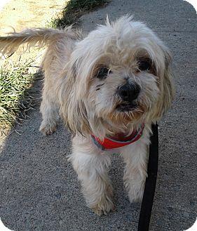 Shih Tzu/Maltese Mix Dog for adoption in Bronx, New York - Hershey