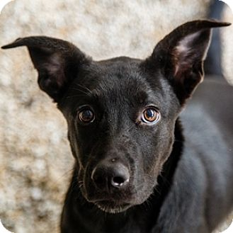 Labrador Retriever/German Shepherd Dog Mix Puppy for adoption in Decatur, Georgia - FANTASIA