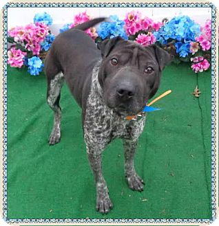 Shar Pei Mix Dog for adoption in Marietta, Georgia - JAKE