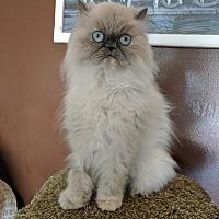 Adopt A Pet :: Tinkerbella - Toledo, OH