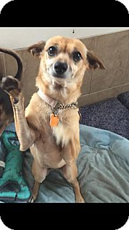 Chihuahua Mix Dog for adoption in Loxahatchee, Florida - April