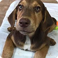 Adopt A Pet :: Adam - East Hartford, CT
