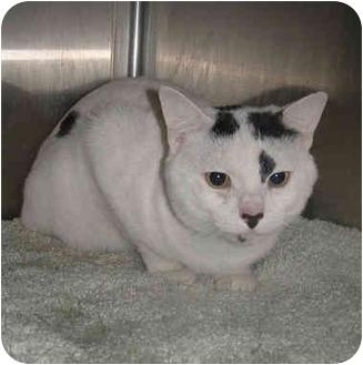 Domestic Shorthair Cat for adoption in Honesdale, Pennsylvania - Benson