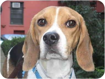 Beagle Mix Dog for adoption in Long Beach, New York - Parker