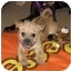 Photo 1 - Shih Tzu/Pug Mix Puppy for adoption in Naperville, Illinois - Princess-adopted