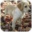Photo 2 - Golden Retriever/Labrador Retriever Mix Puppy for adoption in Hamburg, Pennsylvania - Julep