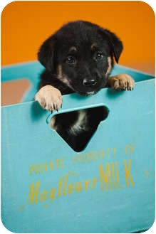 German Shepherd Dog Mix Puppy for adoption in Portland, Oregon - Alma