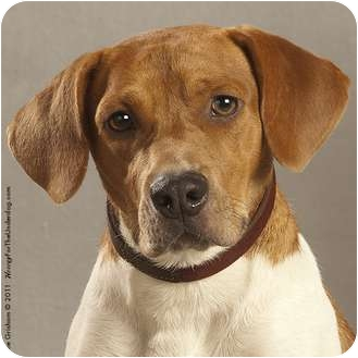 Beagle/Coonhound Mix Dog for adoption in Coppell, Texas - Leo