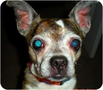 Boston Terrier/Chihuahua Mix Dog for adoption in North Augusta, South Carolina - BELLE